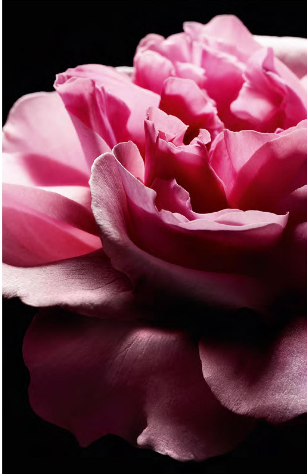 j-adore-dior-rosa